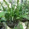 LepisorusMacrosphaerus.jpg 1127 x 845 px 234.15 kB