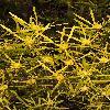 LeucadendronEucalyptifolium2.jpg 800 x 1200 px 511.58 kB