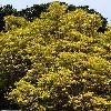 LeucadendronEucalyptifolium.jpg 800 x 1200 px 595.93 kB