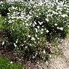 LeucanthemumMaximumLubna2.jpg 1024 x 768 px 377.18 kB