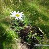 LeucanthemumMaximum.jpg 720 x 960 px 402.31 kB