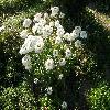 Leucanthemum.jpg 1110 x 833 px 294.5 kB