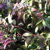 LeucothoeCatesbaei2.jpg 1024 x 768 px 165.9 kB