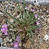 LewisiaPygmaea.jpg 1201 x 936 px 694.36 kB