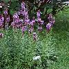 LiatrisSpicata.jpg 720 x 960 px 492.81 kB