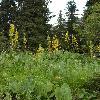 LigulariaHeterophylla3.jpg 532 x 800 px 323.94 kB