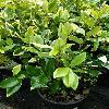 LigustrumJaponicumHowardii.jpg 615 x 820 px 133.03 kB