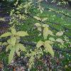 LigustrumObtusifolium2.jpg 1024 x 768 px 166.41 kB
