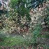 LigustrumObtusifolium.jpg 1024 x 768 px 355.45 kB