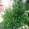 LigustrumVulgare4.jpg 1167 x 875 px 365.31 kB
