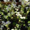 LimosellaAquatica2.jpg 681 x 908 px 158.82 kB