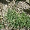 LinariaAlpina2.jpg 1127 x 845 px 308.7 kB