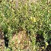 LinariaAlpina.jpg 1024 x 768 px 298.2 kB