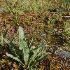 LindelofiaStylosa2.jpg 532 x 800 px 325.48 kB