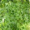 LiquidambarStyraciflua3.jpg 1024 x 768 px 205.77 kB