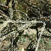 LiquidambarStyraciflua5.jpg 1127 x 845 px 251.73 kB