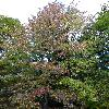 LiquidambarStyraciflua9.jpg 720 x 960 px 511.78 kB