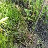LittorellaUniflora.jpg 1167 x 875 px 377.02 kB