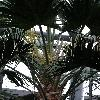 LivistonaChinensis2.jpg 720 x 960 px 343.83 kB