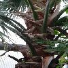 LivistonaChinensis3.jpg 720 x 960 px 319.02 kB