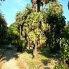 LivistonaChinensis5.jpg 1109 x 832 px 264.09 kB