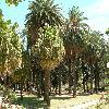 LivistonaChinensis6.jpg 1109 x 832 px 272.57 kB