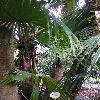 LivistonaChinensis8.jpg 722 x 963 px 409.34 kB