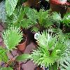 LivistonaRotundifolia2.jpg 1024 x 768 px 159.61 kB