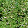 LophanthusSchrenkii.jpg 900 x 1200 px 525.74 kB