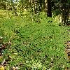 LophosoriaQuadripinnata.jpg 600 x 903 px 439.22 kB