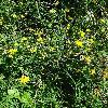 LotusCorniculatus2.jpg 681 x 908 px 552.49 kB