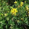 LotusCorniculatus3.jpg 1024 x 768 px 138.78 kB