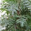 LygodiumJaponicum4.jpg 720 x 960 px 372.75 kB