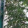 LygodiumMicrophyllum.jpg 720 x 960 px 467.18 kB