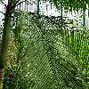 LytocaryumWeddellianum2.jpg  x  px 0 kB