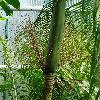 LytocaryumWeddellianum3.jpg  x  px 0 kB