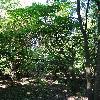 MaackiaAmurensis.jpg 720 x 960 px 508.69 kB