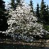 Magnolia2.jpg 638 x 850 px 193.28 kB