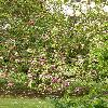 Magnolia6.jpg 630 x 840 px 210.02 kB