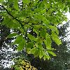 MagnoliaAcuminata2.jpg 720 x 960 px 445.71 kB