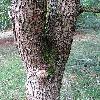 MagnoliaAcuminata4.jpg 720 x 960 px 524.78 kB