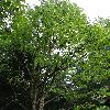 MagnoliaAcuminata.jpg 720 x 960 px 481.93 kB