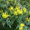 MahoniaAquifolium3.jpg 1219 x 914 px 647.96 kB