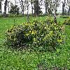 MahoniaAquifolium.jpg 1219 x 914 px 873.43 kB