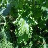 MalvaCrispa2.jpg 1188 x 891 px 415.88 kB