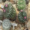 MammillariaCapensisPallida2.jpg 1024 x 768 px 243.88 kB