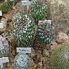 MammillariaCapensisPallida.jpg 1024 x 768 px 241.03 kB
