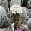 MammillariaCarmenae7.jpg 1189 x 797 px 198.88 kB