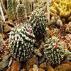 MammillariaCompressaCentralifera.jpg 1340 x 894 px 643.27 kB