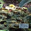 MarantaLeuconeuraFascinator.jpg 720 x 960 px 402.74 kB